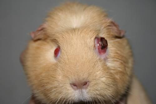 Заболевания глаз | Морская свинка дома