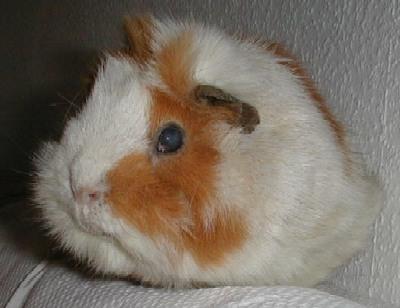 Заболевания глаз   Морская свинка дома