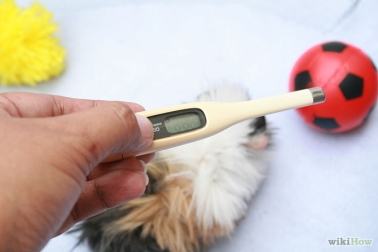 670px-Care-for-a-Guinea-Pig-in-Pneumoina-Step-2