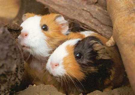 meerschweinchen-braun